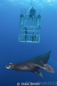 Diving  with sea lions is dangerous. Always use a cage by Stew Smith